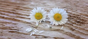 White and Yellow Flower on Brown Surface Royalty Free Stock Photo