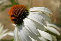 White and yellow flower. Close up of white and orange flower Stock Photography