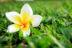 White and yellow flower on the grass. Beautiful White and yellow flower on the grass in park, Thailand Royalty Free Stock Photos