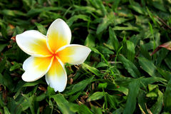 White and yellow flower on the grass. Beautiful White and yellow flower on the grass in park, Thailand Royalty Free Stock Photo