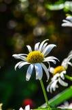 White and yellow flower. Macro close up Stock Photo