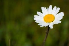 White yellow flower Royalty Free Stock Photos