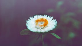 White and Yellow Flower Photo Royalty Free Stock Photos