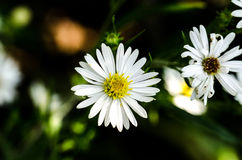 A white and Yellow Flower. Plain but beautiful, with its white and yellow colors. This little flower was in full bloom in October in Ohio royalty free stock image