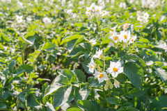 White and yellow flowering potato plants Stock Photos