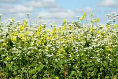 White and yellow flowers. Field of white and yellow wild flowers Royalty Free Stock Images