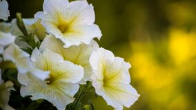 White Yellow Flowers Royalty Free Stock Image