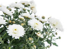 White and Yellow flowers (Chrysanthemum) Stock Image