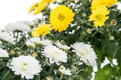 White and Yellow flowers (Chrysanthemum) Royalty Free Stock Image