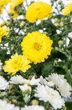 White and Yellow flowers (Chrysanthemum) Royalty Free Stock Photo