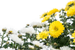 White and Yellow flowers (Chrysanthemum) Stock Images