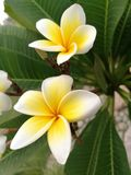 White and Yellow Flowers. With orange tinge among long green leaves Royalty Free Stock Photos