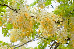 White and Yellow Flowers - Rainbow Shower Tree variety. `Queen`s Hospital White` variety of the Rainbow Shower Tree Royalty Free Stock Photos