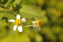 White and yellow flowers. Two little white and yellow flowers on a tree with blurred background Stock Photography