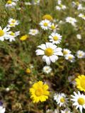 White and yellow Flowers. Happy mind Royalty Free Stock Image