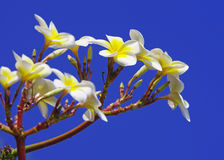 Frangipani on blue sky Royalty Free Stock Image