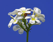 Frangipani on blue sky Stock Photo