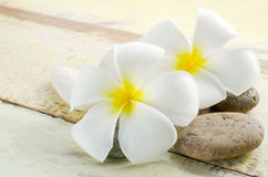 White and yellow frangipani flower Royalty Free Stock Image