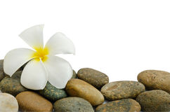 White and yellow frangipani flower Stock Photography