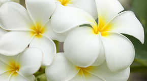 White and yellow frangipani flowers. With leaves in background Stock Image