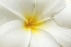 White and yellow frangipani flowers. Royalty Free Stock Image