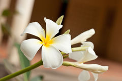 White and yellow frangipani flowers Royalty Free Stock Image