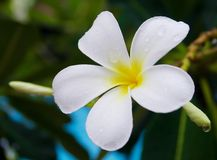 White and yellow frangipani flowers Stock Photo