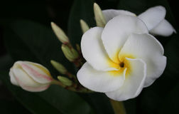 White and yellow frangipani Royalty Free Stock Photo