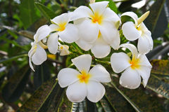 White and yellow frangipani flowers Stock Images