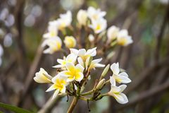 White and yellow frangipani flowers with branch. In background Stock Photos