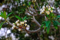 White and yellow frangipani flowers. A common variety in Thailand, blooming on their branches in the garden Stock Photo
