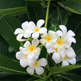 White and yellow frangipani flowers with dew. White and yellow frangipani flowers and leaves with dew Royalty Free Stock Photography