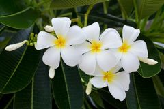 White and yellow frangipani flowers. In the garden Stock Images