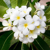 White and yellow frangipani flowers. In the garden Royalty Free Stock Photography