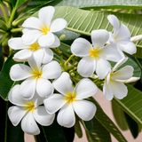 White and yellow frangipani flowers. In the garden Stock Photo