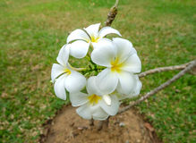 White and yellow frangipani flowers. In a garden Stock Photo