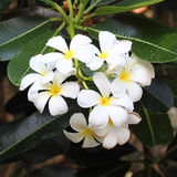 White and yellow frangipani flowers. With leaves Royalty Free Stock Images