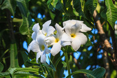White and yellow frangipani flowers. With leaves Stock Photography