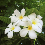 White and yellow frangipani flowers with leaves.  Stock Photography