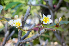 White and yellow frangipani flowers. With leaves Almeria,Plume Stock Image