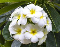 White and yellow frangipani flowers with leaves. Flowers arranged in lotus-shape , bouquet Royalty Free Stock Photography