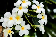 White and yellow frangipani flowers with leaves in background. White and yellow frangipani flowers with leaves in background Stock Photography