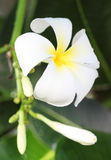 White and yellow frangipani flowers. With leaves background Stock Images