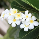 White and yellow frangipani flowers. With leaves in background Royalty Free Stock Images