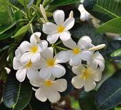 White and yellow frangipani flowers. With leaves in background Stock Photo
