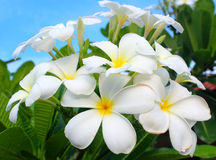 White and yellow frangipani flowers with leaves. In background Royalty Free Stock Photos