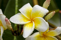 White and yellow frangipani flowers with leaves. In background Stock Photos