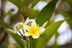 White and yellow frangipani flowers with leaves. In background Stock Images
