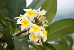 White and yellow frangipani flowers with leaves. In background Stock Photo