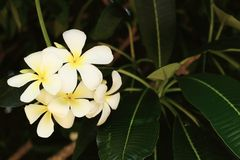 White and yellow frangipani flowers with leaves. In background Stock Image